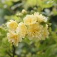 黄 モッコウバラ