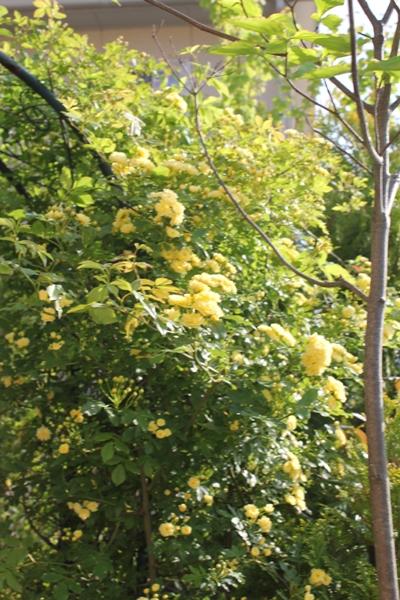 黄モッコウバラアーチ