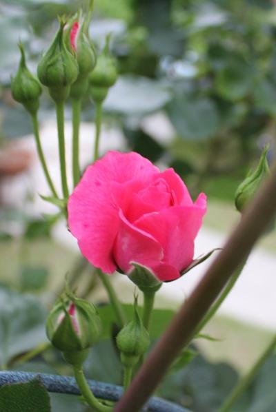 ミニバラ開花