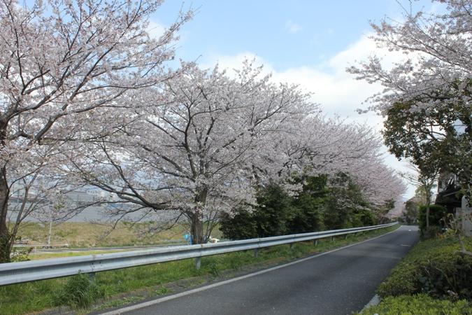 日本平SAの桜